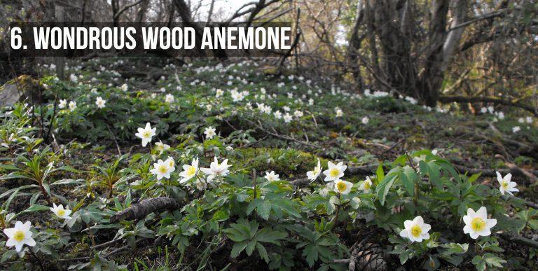 Wondrous Wood Anemone Westport