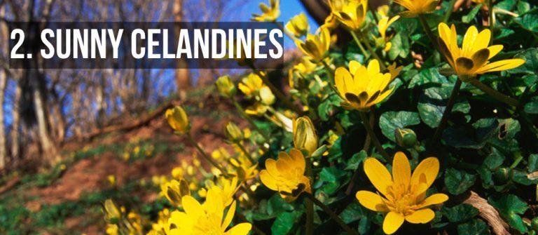 Sunny Celandines Westport