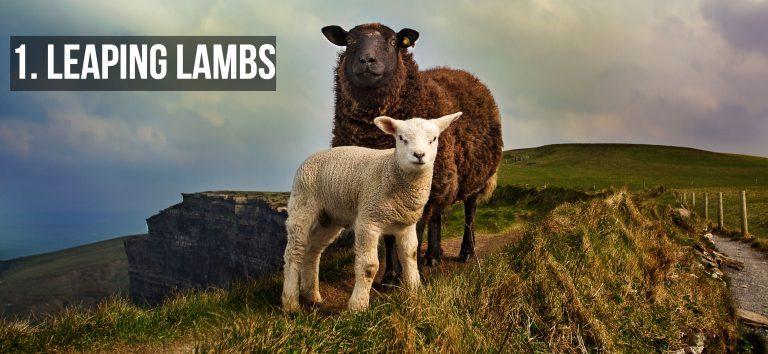Leaping Lambs in Westport