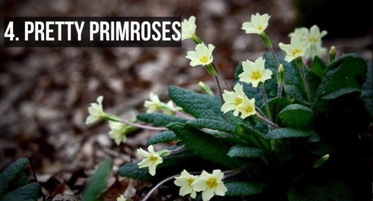 Pretty Primroses Westport