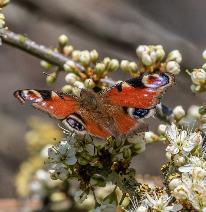 Seven Westport Hedgerow Beauties Now in Bloom